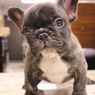 A frenchie puppy is love